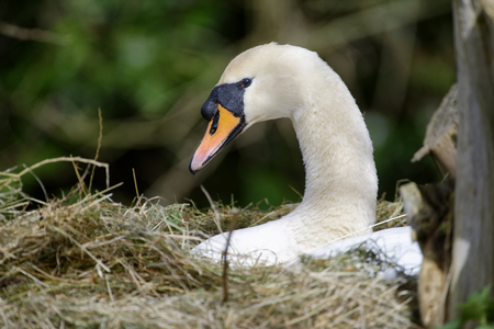 Mute Swan - Cygnus olor Swan on nest