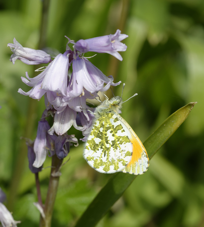 Orange Tip Butterfly - Anthocharis cardamines  Male underside on Spanish Bluebells - Hyacinthoides hispanica