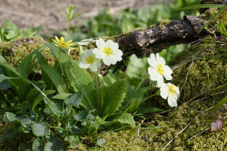 Primrose - Primula vulgaris  with Lesser Celandine - Ranunculus ficaria on moss covered stump Reklamní fotografie