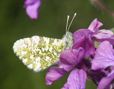 Orange Tip Butterfly - Anthocharis cardamines  Male underside on Honesty flowers - Lunaria annua