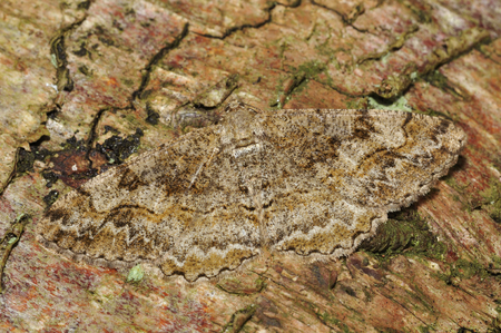 Mottled Beauty Moth - Alcis repandata repandata Camouflaged on tre bark
