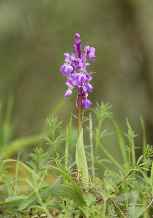 Early Purple Orchid - Orchis mascula  with Woodruff - Galium odoratum