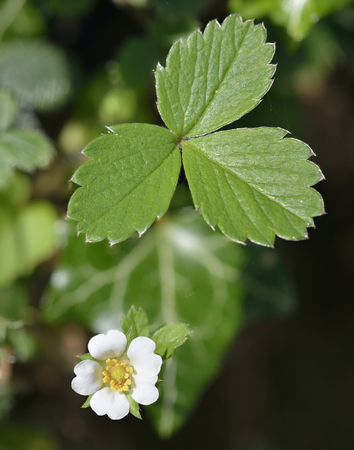 Barren Strawberry - Potentilla sterilis Flower and Leaf