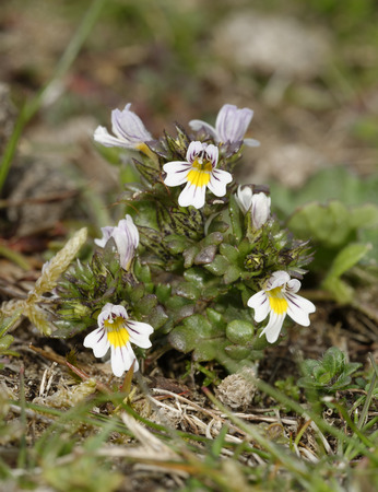 Common Eyebright - Euphrasia nemorosa  on Braunton Burrows Sand Dunes
