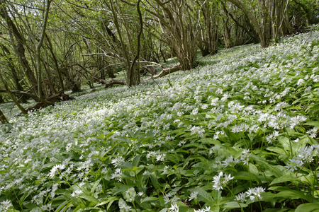 Spring Woodland with carpet of Ramsons or Wild Garlic - Allium ursinum  Mendip Hills, Somerset