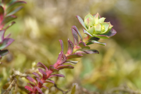 Sea Spurge - Euphorbia paralias  Flower head, Braunton Burrows, Devon