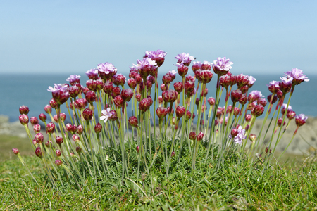 Thrift or Sea Pink - Armeria maritima  Morte Point, Devon Reklamní fotografie