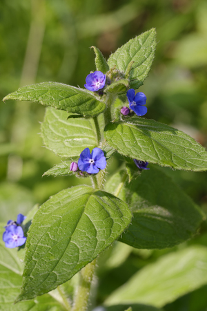 Green Alkanet - Pentaglottis sempervirens Blue flower of hedgerows