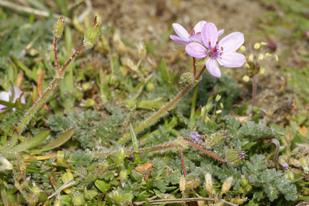Common Storks-bill - Erodium cicutarium  Small Pink Flowers, Braunton Burrows Sand Dunes Reklamní fotografie