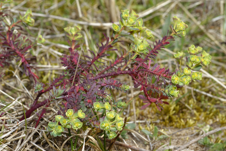 Sea Spurge - Euphorbia paralias  Whole plant with flowers, Braunton Burrows, Devon Reklamní fotografie