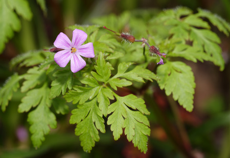Herb-robert - Geranium robertianum  Flower, Seed pods & Leaves
