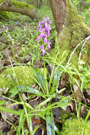 Early Purple Orchid - Orchis mascula  Whole pland in Ancient Woodland environment Reklamní fotografie