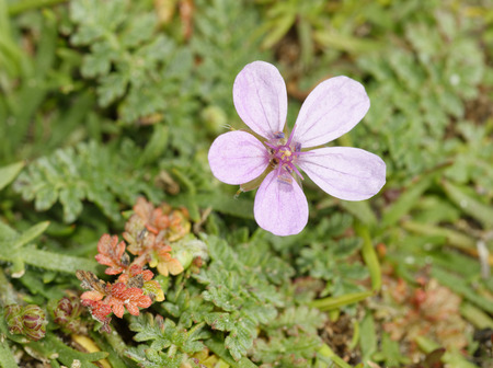 Common Storks-bill - Erodium cicutarium  Small Pink Flowers & Leaves, Braunton Burrows Sand Dunes