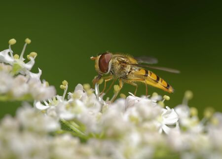 Marmalade Hoverfly - Episyrphus balteatus on Umbellifer Flower