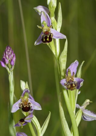 Bee Orchids - Ophrys Apifera 