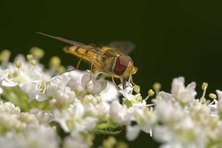 Marmalade Hoverfly - Episyrphus balteatus 