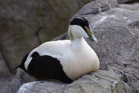 Common Eider Duck - Somateria mollissima Male on rock Banco de Imagens