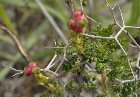 Spiny or Thorny Burnet - Sarcopoterium spinosum Mediterranean Shrub Stok Fotoğraf