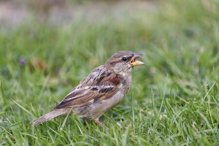 Young House Sparrow - Passer domesticus  on lawn Stockfoto