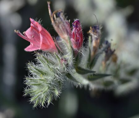 Narrow-leaved Bugloss - Echium angustifolium 