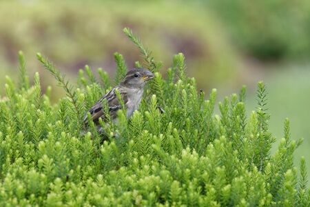 Young House Sparrow - Passer domesticus  Feeding on Flying Ants in Heather