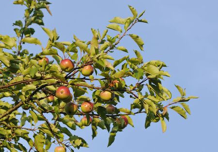 Red Apples on tree against blue sky - Malus domestica