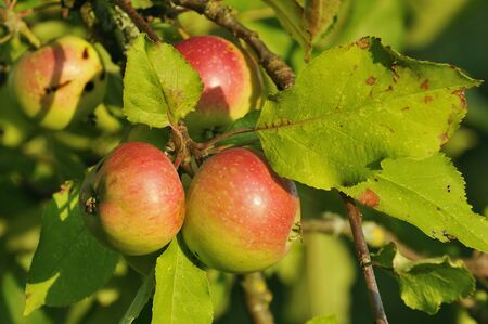 Red Apples on tree in evening sun - Malus domestica