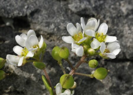 Common Scurvygrass - Cochlearia officinalis