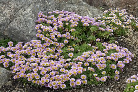 Seaside Daisy - Erigeron glaucus  Seaside Fleabane, Beach Aster, or Sea Breeze  Native of west coast of USA