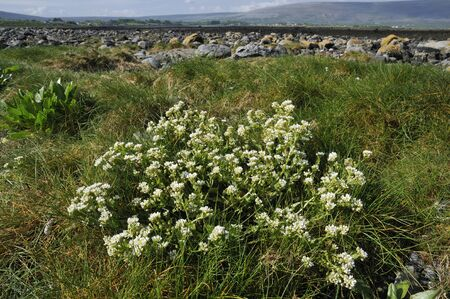 Common Scurvygrass - Cochlearia officinalis Ballyvaghan Bay, The Burren, Ireland
