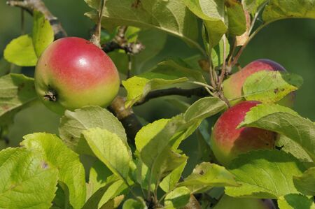 Red and Green Apples on tree - Malus domestica Stock Photo