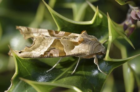 Angle Shades - Phlogophora meticulosa  Moth resting on Holly Leaf
