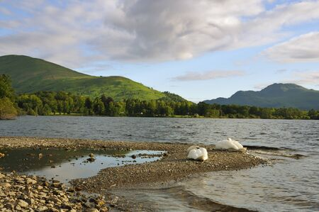 Swans on Loch Lomond Ben Lomond distant right Scotland