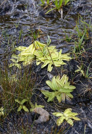 Common Butterwort - Pinguicula vulgaris  Insectivorous plant with seed pods on wet peat Stock Photo