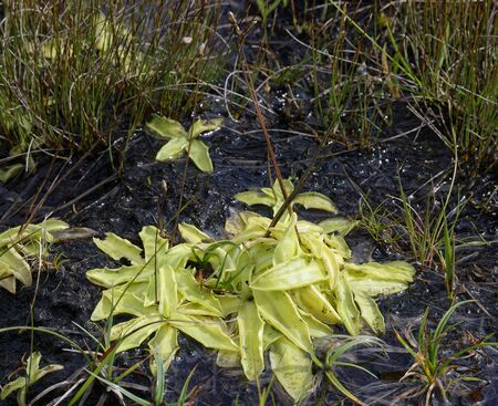 Common Butterwort - Pinguicula vulgaris  Insectivorous plant on wet peat Stock Photo