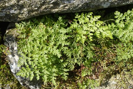 Parsley Fern or Curled Rock Brake - Cryptogramma crispa  Arctic–alpine fern found in mountains of North Wales, North England and Scotland in the UK