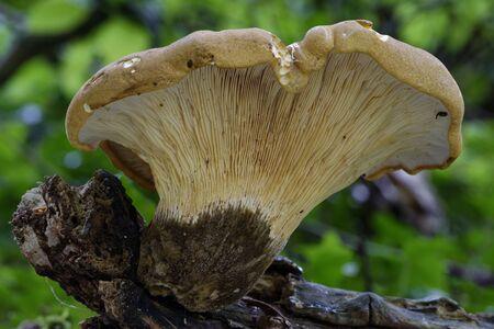 Velvet Rollrim - Tapinella atrotomentosa  A Fungus of Pine Woodlands
