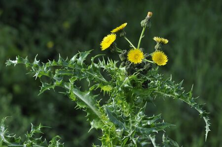 Prickly or Rough Sow-thistle - Sonchus asper Flowerhead