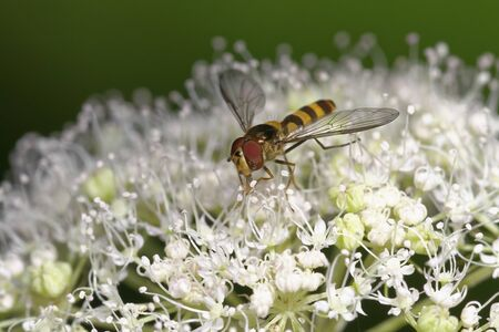 Banded Meliscaeva Hoverfly - Meliscaeva cinctella Male feeding on Umbelifer flower