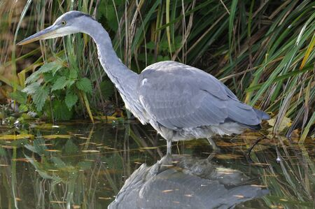 Juvenile Grey Heron - Ardea cinerea Stalking in water with reflection