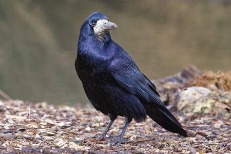 Rook - Corvus frugilegus Corvid with blue sheen