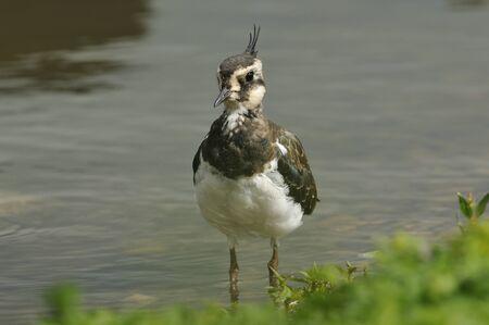 Juvenile Lapwing - Vanellus vanellus Reklamní fotografie