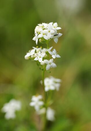 Heath Bedstraw - Galium saxatile with small insect