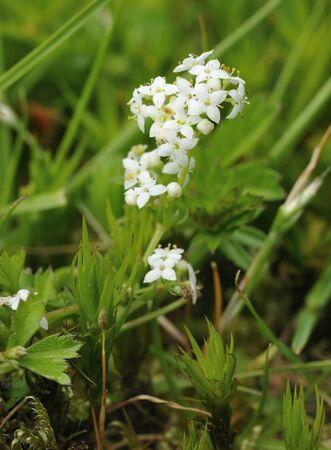 Heath Bedstraw - Galium saxatile Growing among moss & grass