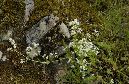 Heath Bedstraw - Galium saxatileGrowing among rock & moss