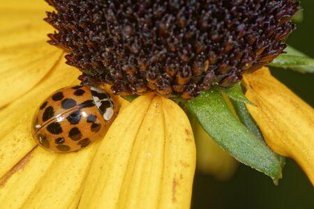 Harlequin Ladybird - Harmonia axyridis on yellow flower