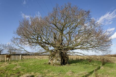 The Old Electric Oak, Wickwar. Thought to be 800 years old 