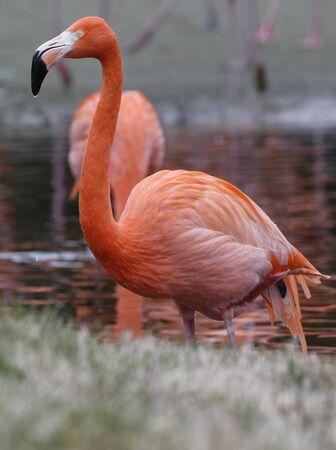 American or Caribbean Flamingo - Phoenicopterus ruber ruber Фото со стока