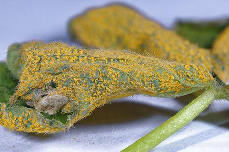 Sorrel or Oxalis Rust Fungus - Puccinia oxalidis on underside of leaf of Pink Sorrel - Oxalis articulata