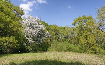 Woodland Glade with Hawthorn Blossom - Crataegus monogyna Lower Woods, Gloucestershire